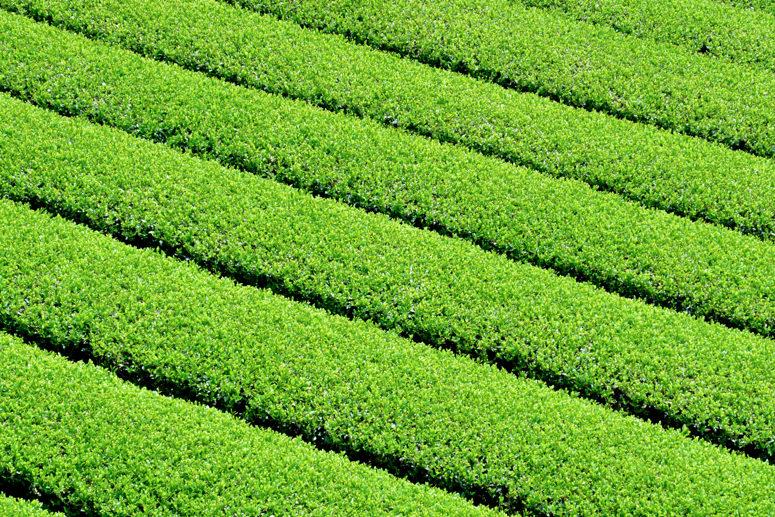 茶摘みの様子1