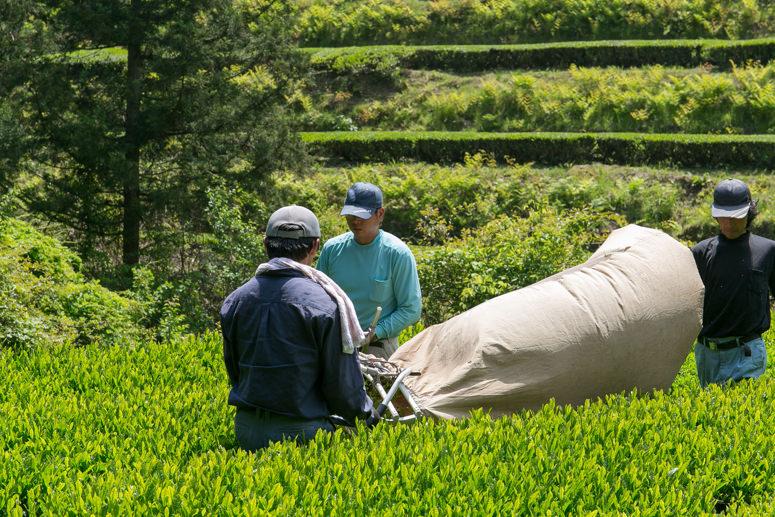茶摘みの様子3