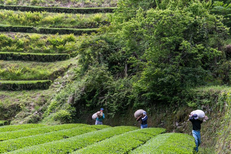 茶摘みの様子5